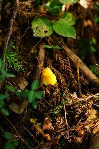 薄暗い山中で見つけた黄色いキノコ