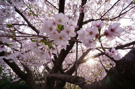 葛西臨海公園の桜並木